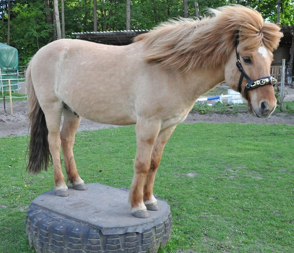 Das Pferd steht mit allen vier Hufen auf dem Podest