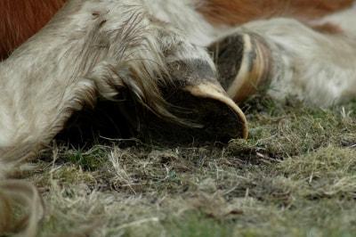 Pferdehufe sind ein wichtiges Tastorgan