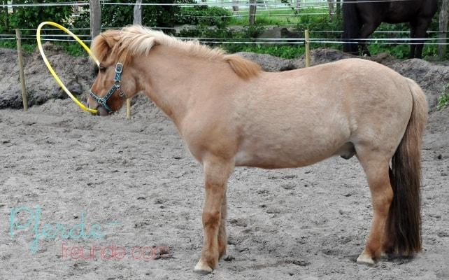 Pferd verstuch Hula Hoop Reifen über den Kopf bzw. Hals zu werfen