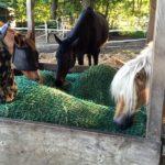 Warum 24 Stunden Heu nicht in jeder Pferdeherde funktioniert