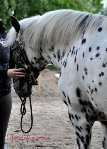 Pferd wird gestellt