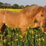 Wie bringe ich meinem Pferd Spanischen Schritt bei?