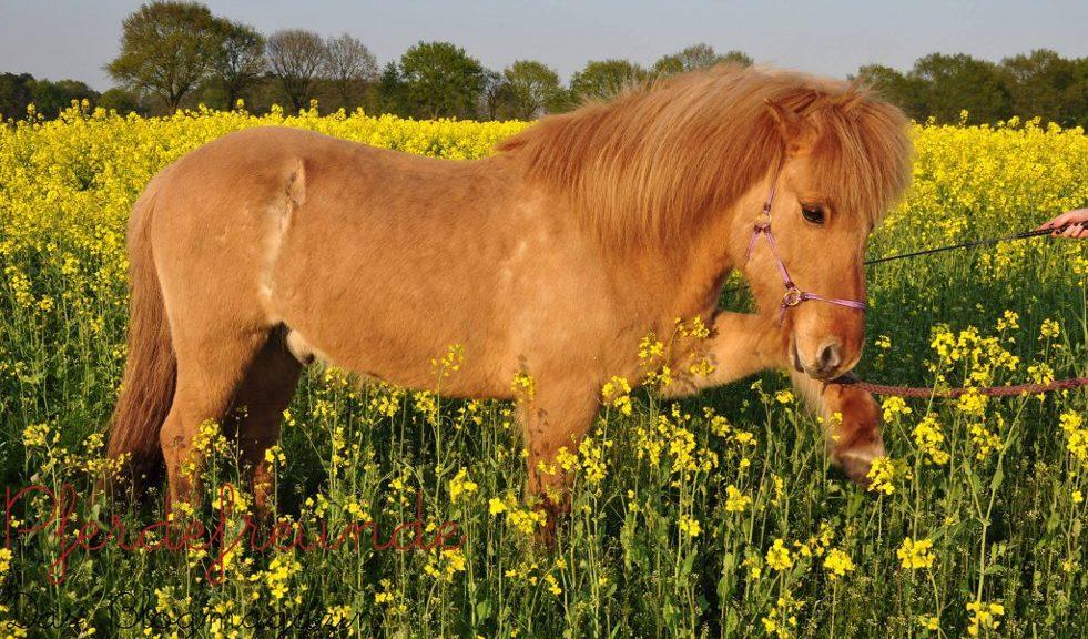 Pferd im Spanischen Schritt