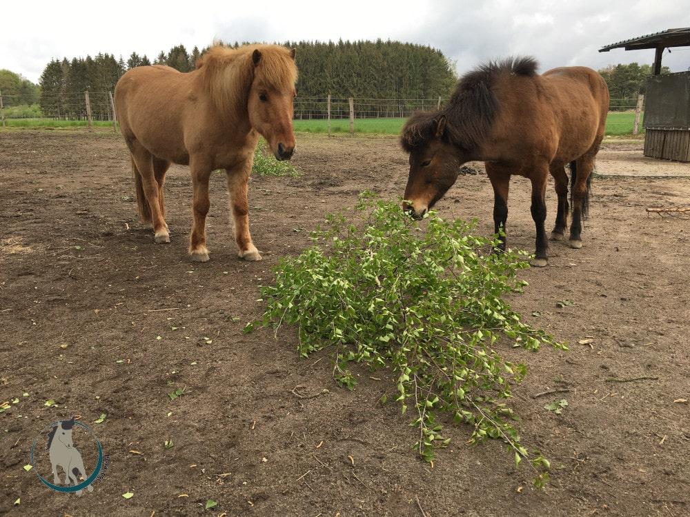 Birke für Pferde ist als Knabberast beliebt
