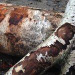 Knabberäste für Pferde: Welche Bäume und Sträucher sind erlaubt?