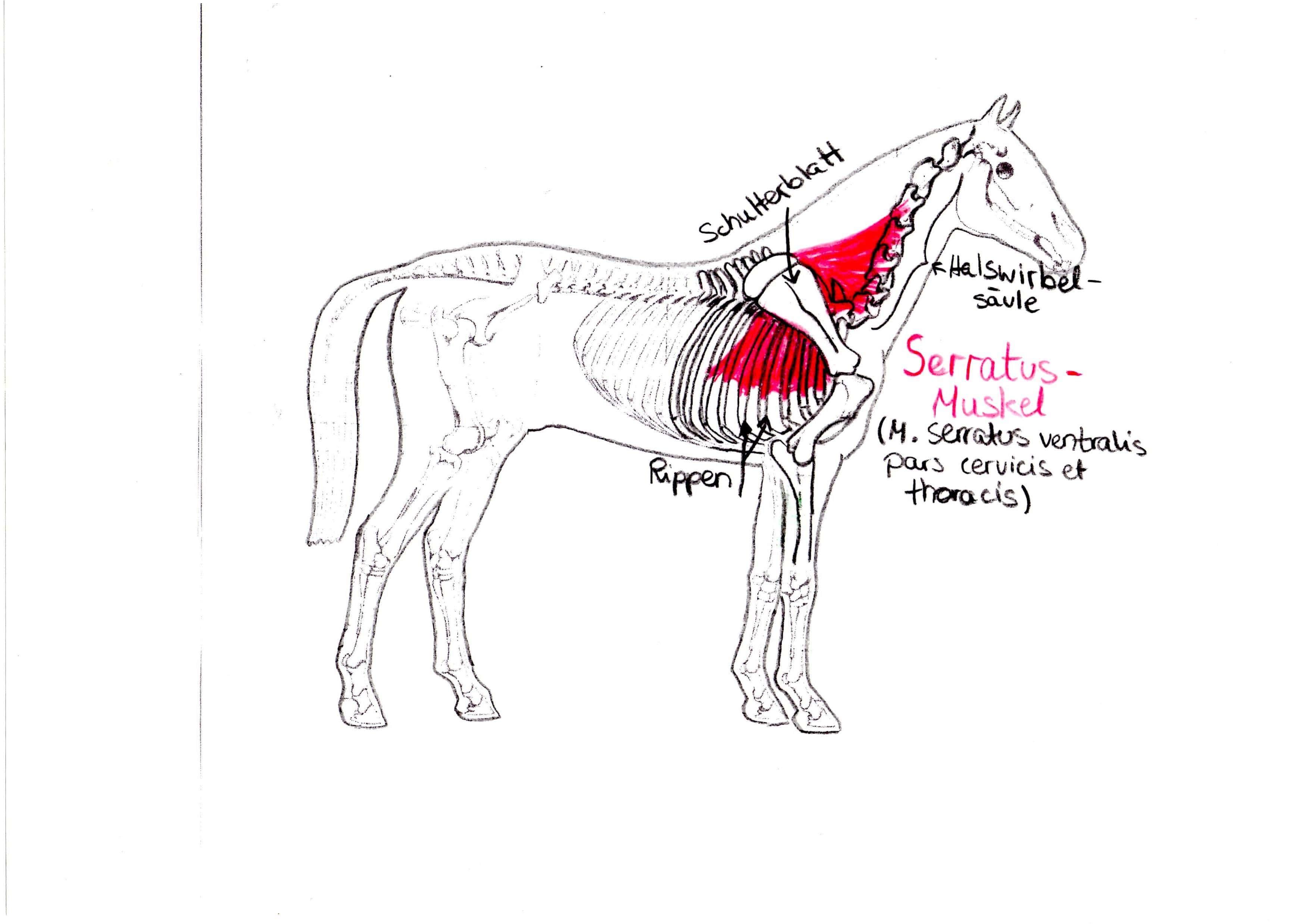 Rückenschmerzen beim Pferd erkennen und vorbeugen | Pferdefreunde