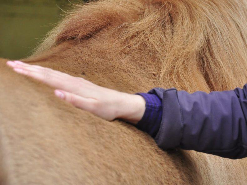Trauma lösen durch Pferdeosteopathie