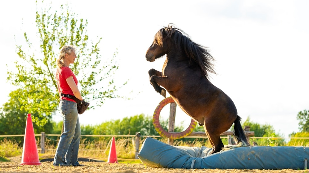 Ninas Pony Wolfgang zeigt, wie schön das Ergebnis positiver Verstärkung mit dem Clicker aussehen kann