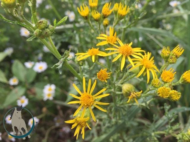 Jacobskreuzkraut wächst überall und ist an den gelben Blüten und den markanten Blättern gut zu erkennen