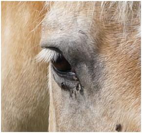 Gesundes Pferdeauge