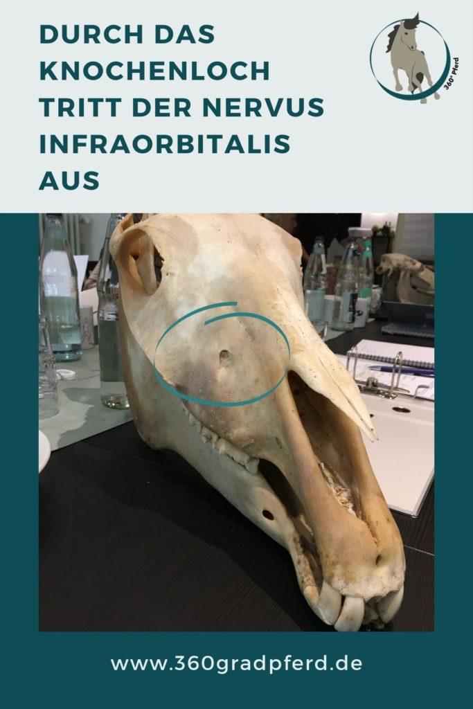 Austrittsloch N Infraorbitalis beim Pferd