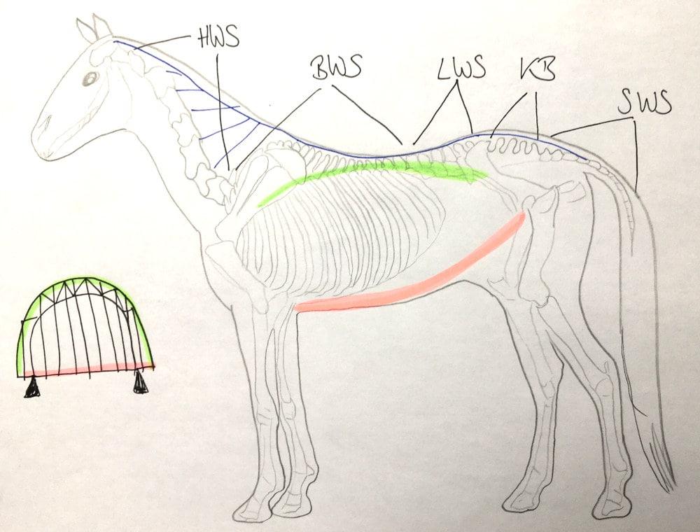 Pferderücken dargestellt als Bogensehnenbrücke