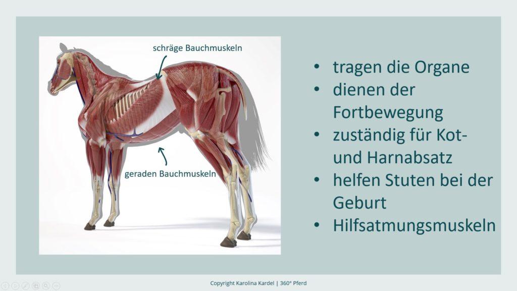 Bauchmuskeln Pferd