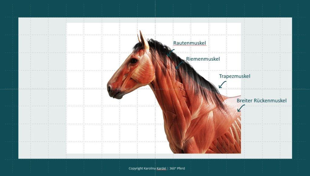 Halsmuskulatur Pferd