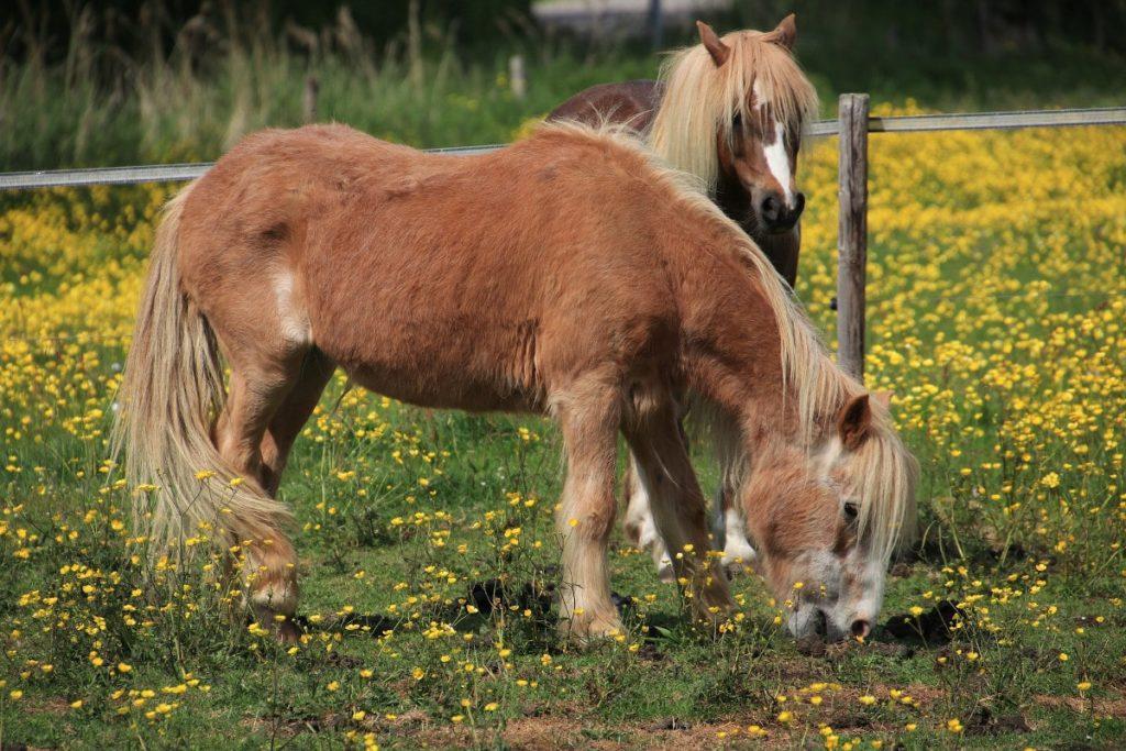 Pferd mit Senkrücken