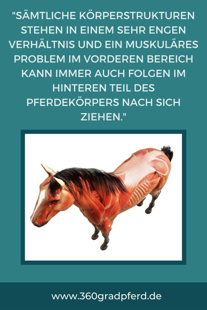 Anatomie Zusammenhänge Pferd